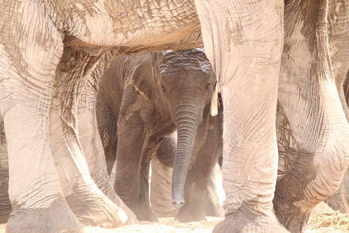 Baby ele safe in the herd's protective gathering - Etosha National Park, Namibia