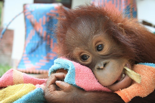 Follow the lives of orphaned and rescued orangutans at a refuge center in Borneo in Orangutan Diary, tonight at 7pm on KQED Plus http://ht.ly/d80JD.