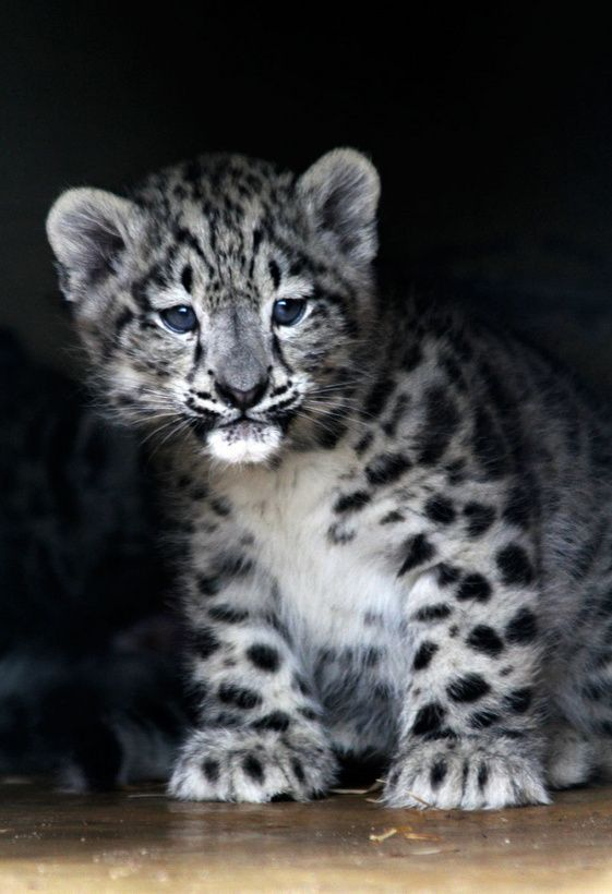 Snow Leopard Cubs Playing In Snow wallpaper.