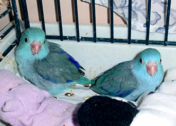 Pacific Blue Turquoise Parrotlet Babies Pacific Blue