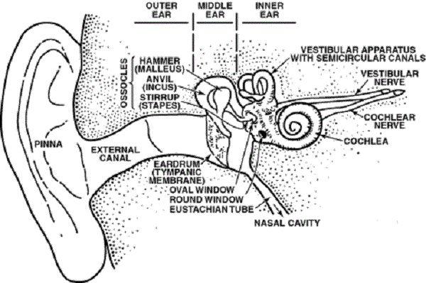 human ear diagram human body pinterest ears