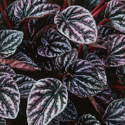 Low-light houseplant: radiator plant (Peperomia)