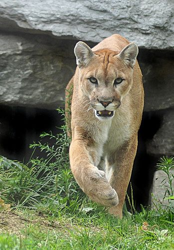 Cougar . Mountain Lion . Puma . the biggest feline that purrs .   The Puma Concolor holds the Guinness record for the animal with the highest number of names, presumably due to its wide distribution across North and South America. It has over 40 names in English alone.