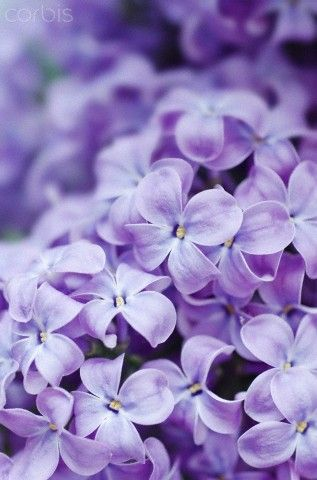 {Reminds me so much of home and fond childhood memories. Love Purple Lilac Flowers!!}