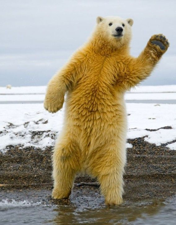 A bear waving..... HELLO is there any one going into town? ... I just need to a few thing for my family out at sea! It's URGENT.. PLEASE HELP!