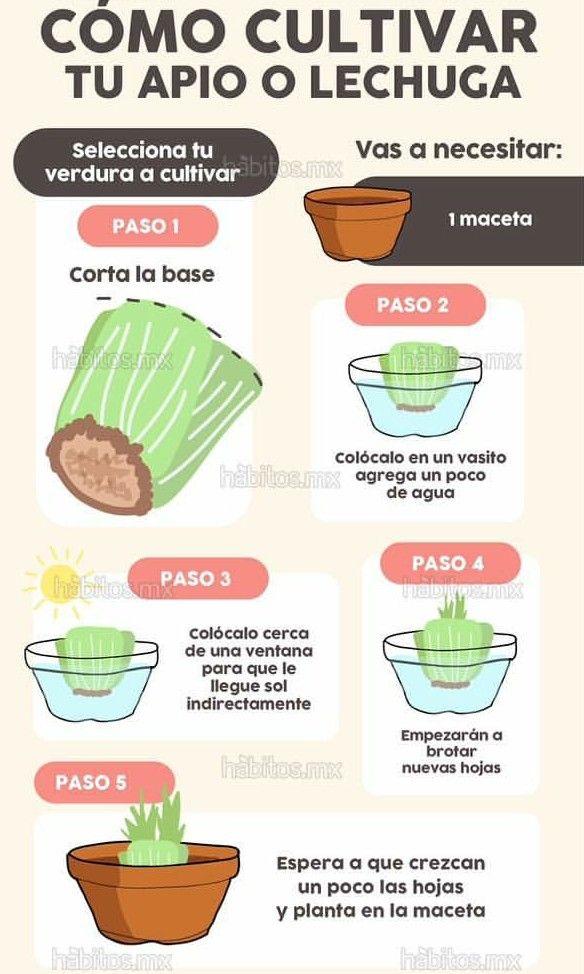 Como cultivar lechuga y apio.