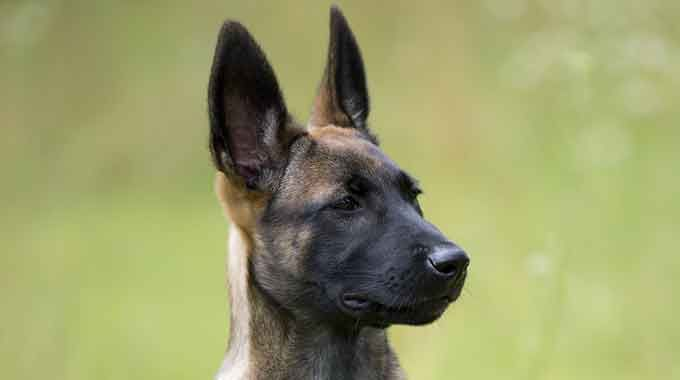 Knpv Belgian Malinois Puppy Malinois Puppies For Sale Malinois