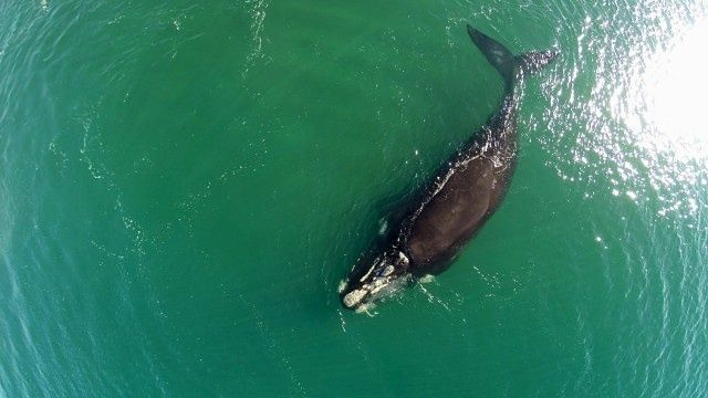 Endangered whale species spotted off Patagonian coastline - video | Environment | The Guardian