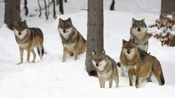 How do gray wolves hunt? | Reference.com... In packs!