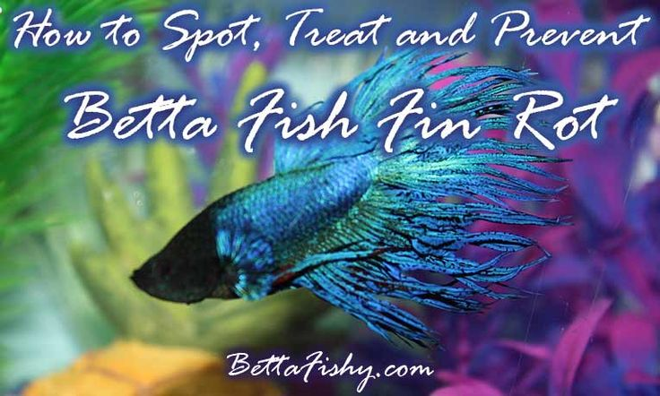 Betta fish fin rot can turn into a nightmare if not dealt with promptly. Learn how to spot, prevent and treat this rotten betta fish fin disease! www.bettafishy.com