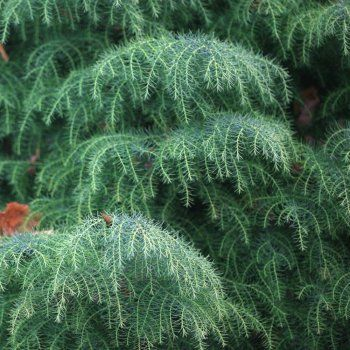 Cryptomeria Japonica Elegans - changes from blue to green to red throughout the year while staying evergreen!