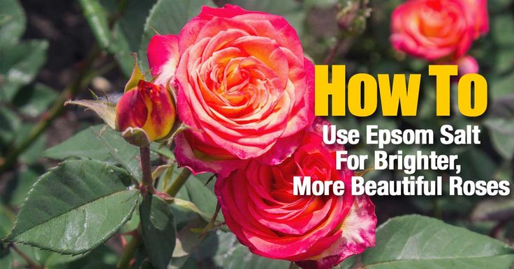 Epsom salt has long been a rose growers best friend and an excellent supplement! Learn how you grow happy, healthy and beautiful roses by using simple, inexpensive Epsom salts.