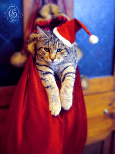 .: Cat Kittens, Gifts Bags, Christmas Cheer, Christmas Kitty, Christmas Cat, Cats Kittens, Pet Stores, Merry Christmas, Christmas Gifts