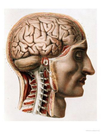 """Hj�rnan, Poster fr�n """"Traite Complet de L'Anatomie de L'Homme""""  1866-67"""