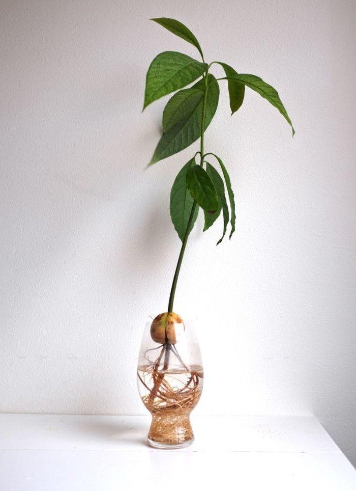 avocado selber ziehen schenken sie ihrem avocado baum. Black Bedroom Furniture Sets. Home Design Ideas