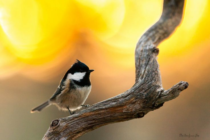 Coal tit by Ola Loe on 500px