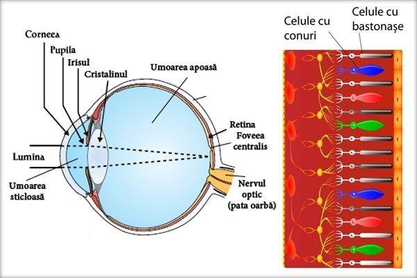 Ochiul (globul ocular) Retina Retina conţine celule fotosensibile care transformă energia luminii în impulsuri nervoase. Unele celule se numesc celule cu bastonaş deoarece au câte o prelungire cu această formă. Ele reacţionează chiar la lumină foarte slabă dar nu deosebesc culorile. ...