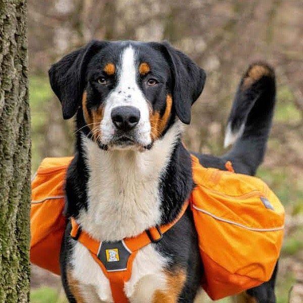 T Ierischer U Berwachungs V Erein In Der Aktuellen Dogs Testet Berner Sennenhund Nepomuck Rucksacke Fur Hunde Nepomucks Testurteil Zu Sechs Dogs Animals