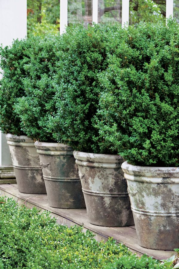 Potted boxwoods offer formal elegance with little maintenance. This large American variety creates a living wall in a line of concrete planters.  Plant Boxwoods in Pots