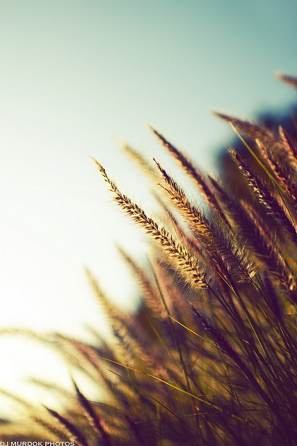 Wheat is a renewable resource. It is used to make different types of breads and other things that we eat. It is grown in big fields.