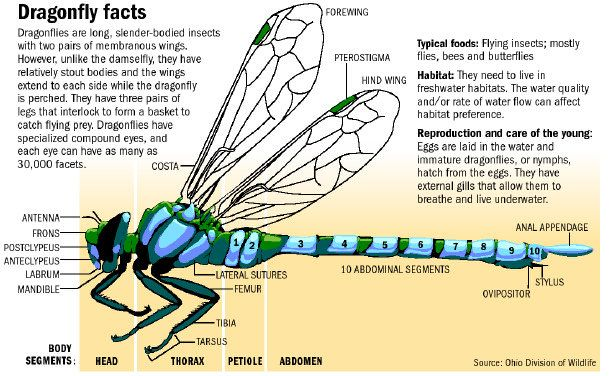 Google Image Result for http://www.dispatch.com/content/graphics/2010/07/25/sci-dragonfly-art-gcj98bnm-10725gfx-sci-dragonfly-facts-eps.jpg