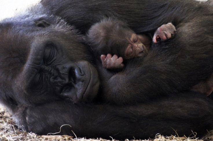 Como Zoo, in Minnesota, is thrilled to announce the addition of a baby Western Lowland Gorilla to its troop. The female gorilla was born in the evening hours of February 22, 2015, to first-time mother, 'Dara'. Learn more, see more: http://www.zooborns.com/zooborns/2015/03/gorilla-mom-snuggles-in-tight-with-new-baby.html