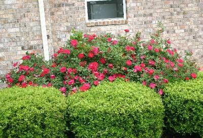 Knock Out® Rose – Pruning in Winter | Walter Reeves: The Georgia Gardener