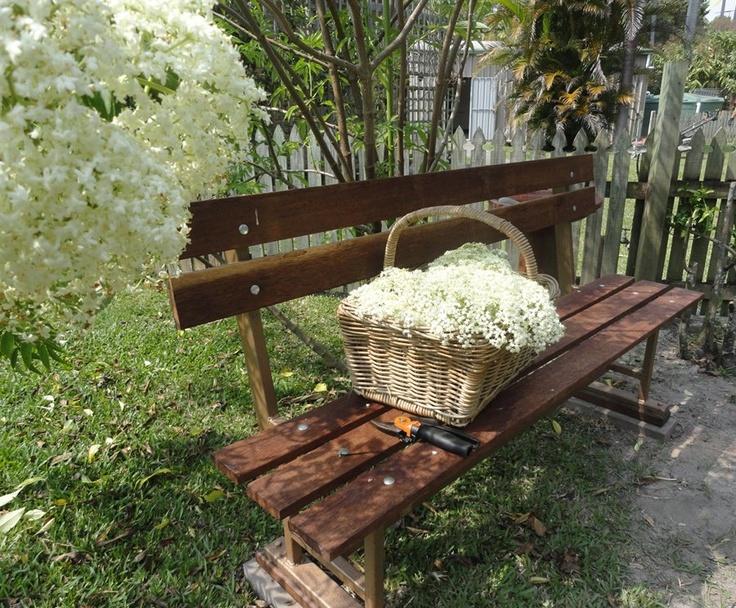 Elderflower harvest...