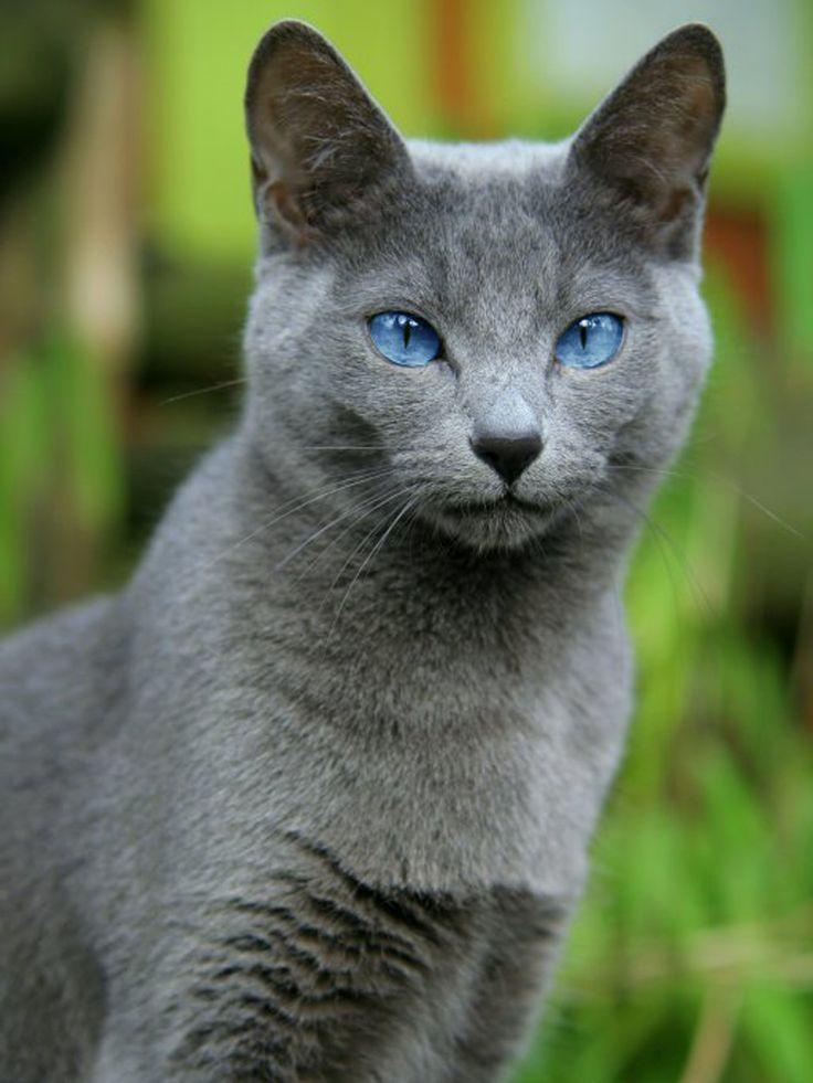 картинки с русского голубой кошкой все жидкие ингредиенты