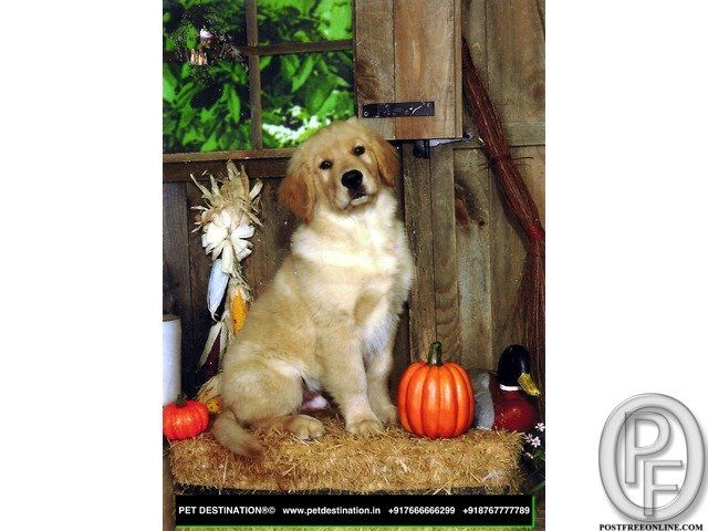 Available Show quality Puppies all types of BIG, Medium & Small,champion blood lineage pups are de-wormed growing well and KCI Registered Proper guidance will be provided regarding the parenting of the puppy. German Shepherd, Golden Retriever, Labrador, Lhasa, Beagle, cocker spaniel, shihtzu etc CALL US NOW FOR THE BEST BREED & BEST DEAL 7666666299