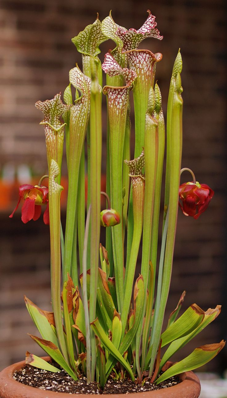 1000 Images About Carnivorous Plants On Pinterest