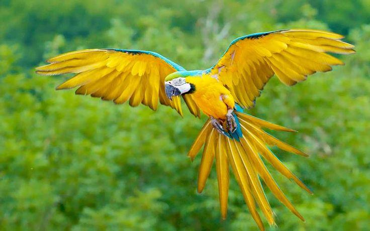 Guacamaya azul - Imagui