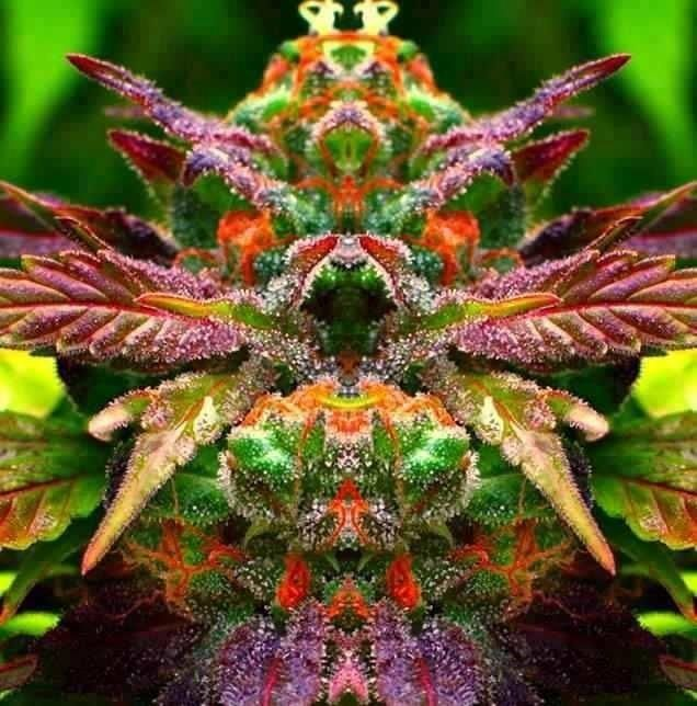 420: Marijuana Oil, Maryjane, Medical Marijuana, Dragon Cannabis Mirror, Beautiful Cannabis, Dragon Cannabismirror, Beautiful Marijuana, 420, Mary Jane