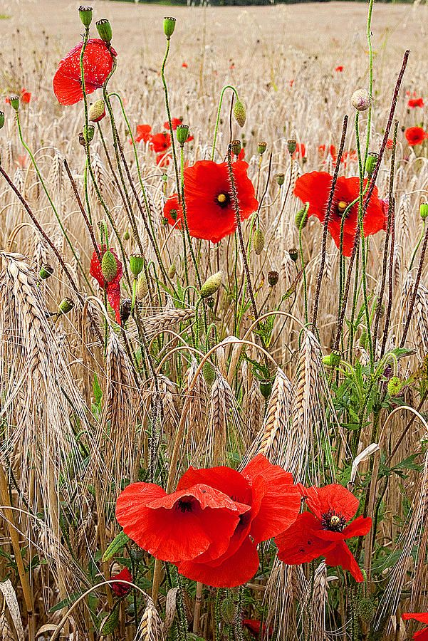 Amapolas en un campo de trigo.