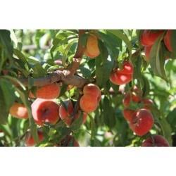 ¡Qué ricas están nuestras Paragüayas ecológicas (3 o 6kg)! Del árbol a tu mesa. ¡¡Para pedidos antes de las 12, las tienes mañana!!!