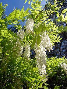 Wisteria sinensis - Wikipedia, the free encyclopedia
