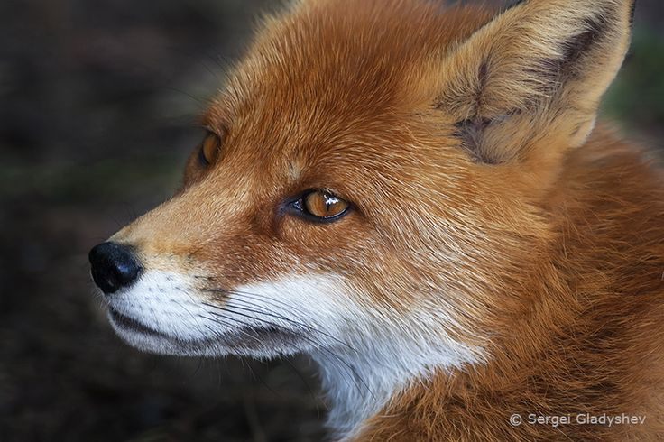 red fox face and - photo #30