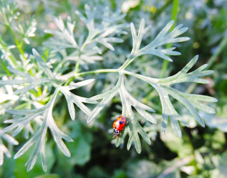 The ladybirds seem to enjoy the flowering coriander, while snacking on the tons of aphids sucking the life from my poor broccoli :(