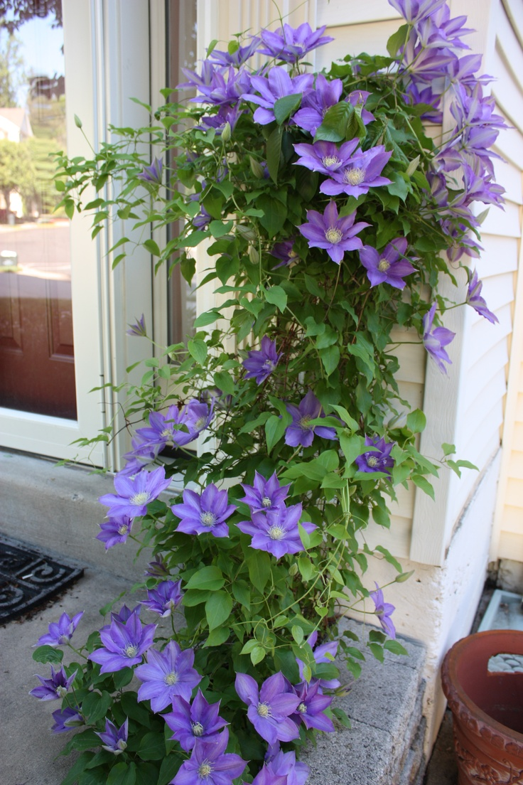 I Am Going To Plant Clematis This Year Yard Garden