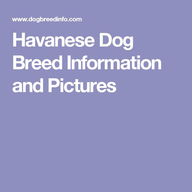 Havanese Dog Breed Information and Pictures