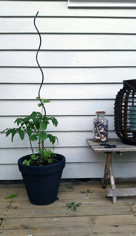 Ipomoea og tomatplante. God stemning - 17.6