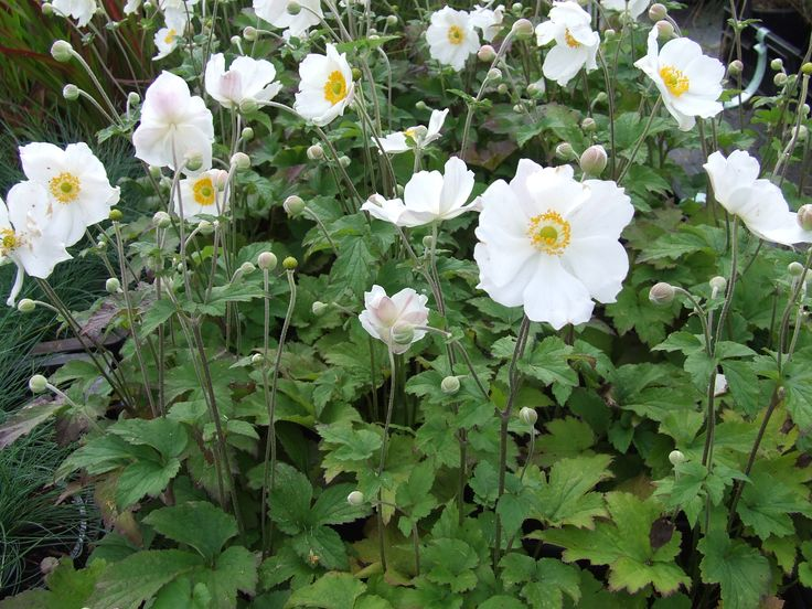 Herfst Anemoon  verschillende witte en rose tinten zorgen tot diep in het najaar voor bloei, een humeuze zand,leem of kleigrond is optimaal , een zonnige of halfbeschaduwde plek verdient de voorkeur