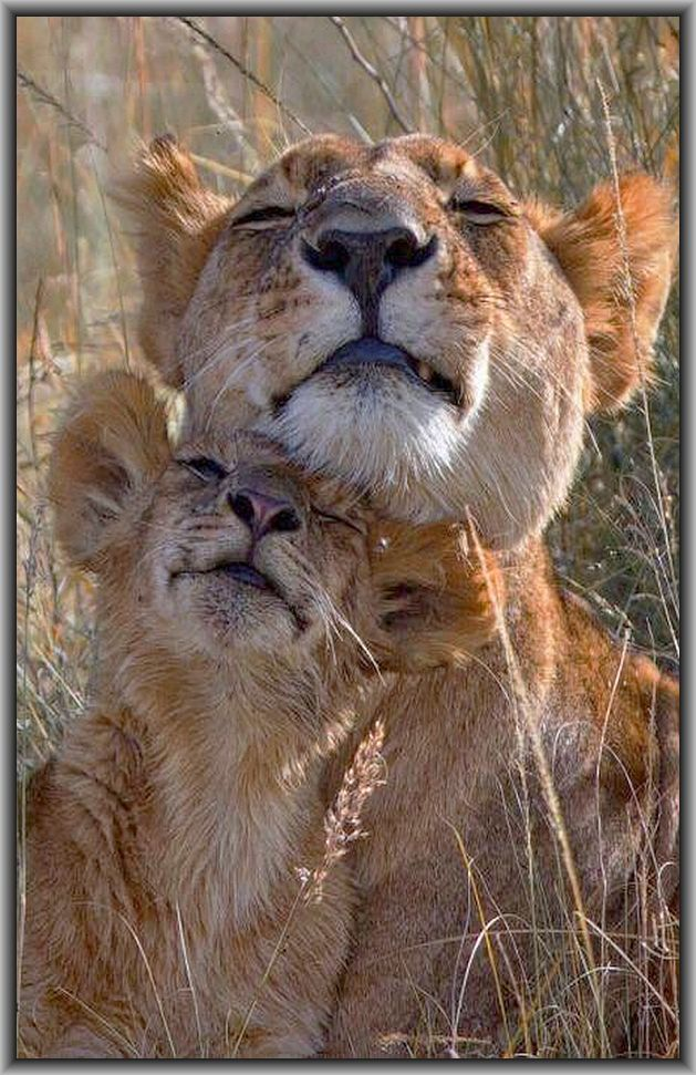 I LOOOVE MY MUMMIIII lion mum and cub #photo by lalulutres.tumblr.com