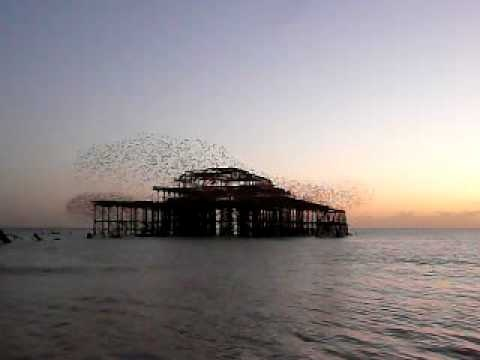 "starlings flocking aka ""murmuration"""