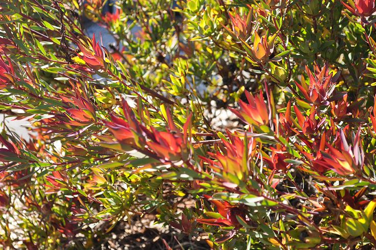 https://flic.kr/p/bc21V6   Leucadendron Red Devil   © Gabriella Tagliapietra / Pinch River
