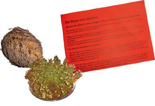 Planta de Rosa de Jericó (Woru). Puedes conseguirla en http://magia.esoterik-a.com/producto/planta-rosa-jerico-woru/