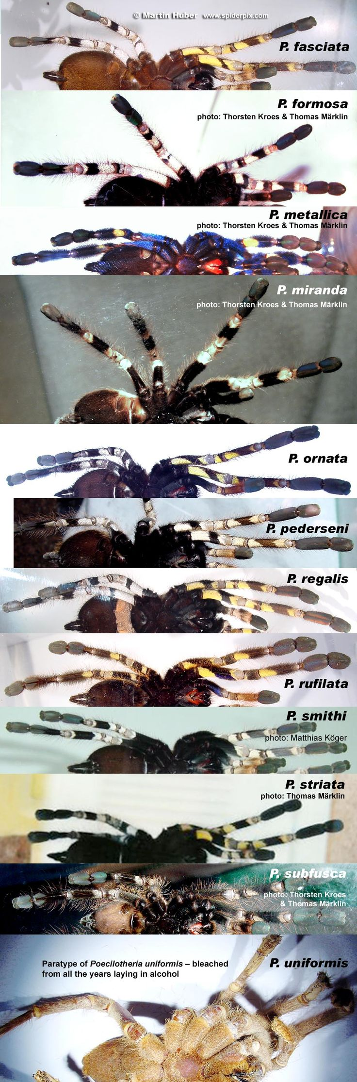 A newbie guide to Poecilotheria - Reptile Forums