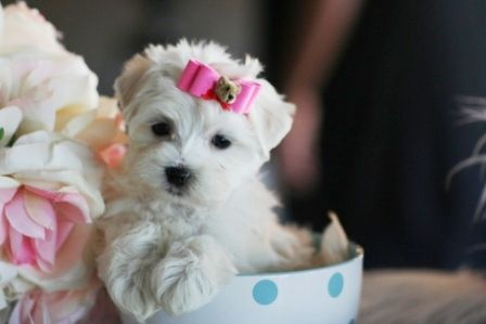 Teacup Maltese Puppies For Sale!!  I WANT ONE!!!!!!!!
