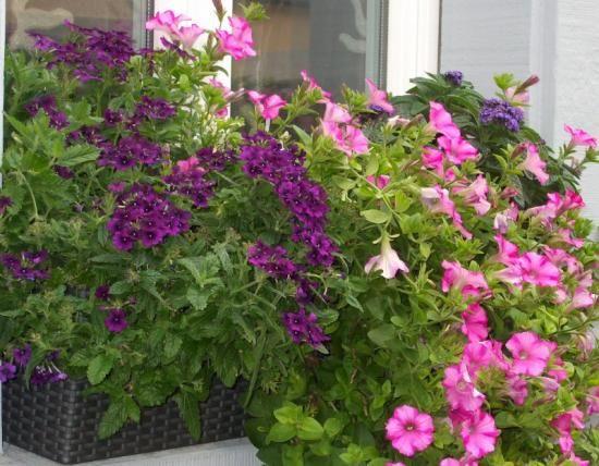 Gyönyörű ez a muskátli. Nálam egész nyáron virágzik minden. Titkom? A megfelelő tápanyag! Webáruházunkban megtalálod a növénytápoldatot.
