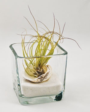 Air plant - no shell!!! Glass ContainersAir ...